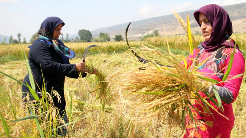harvesting rice in gilan