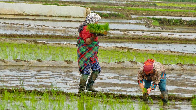 chadorshab waist wrap in paddy fields of Gilan