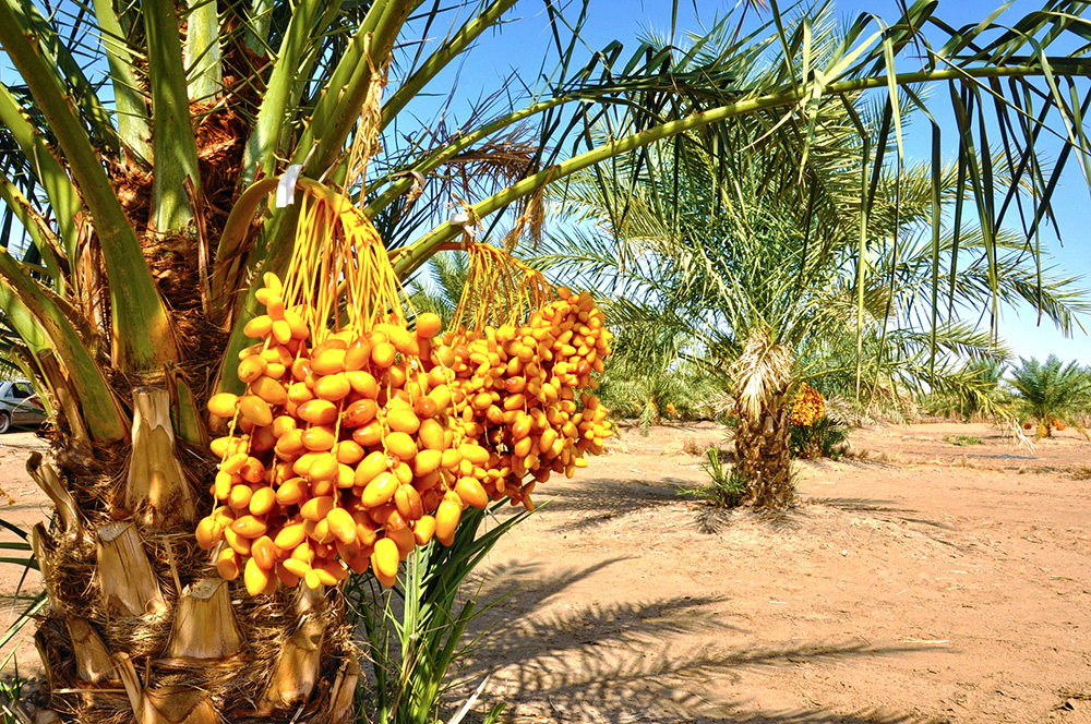Organic farm in the heart of desert without watering system