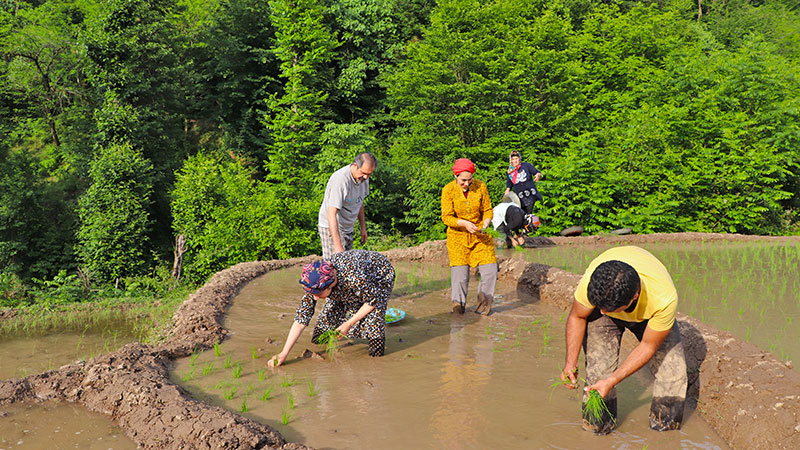 experiential travel in Iran, rice cultivation