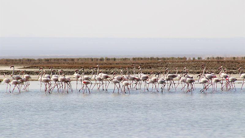 Migrant birds at Gavkhooni wetland