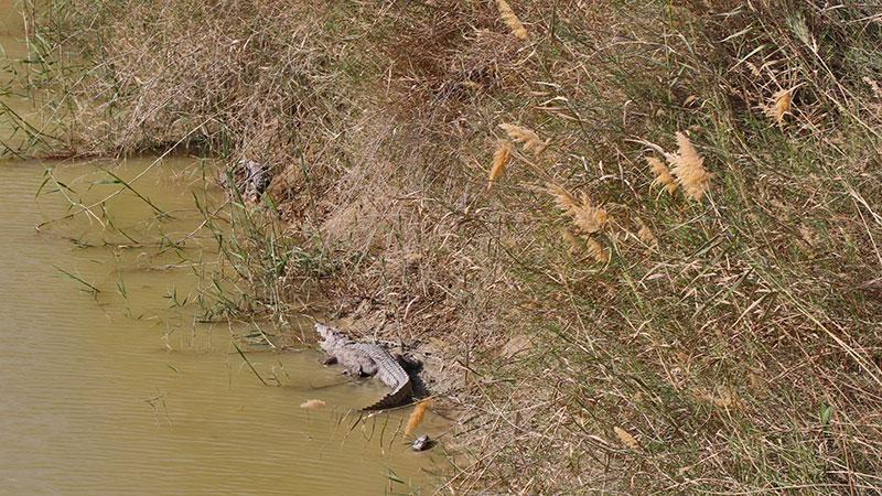 sarbaz river and marsh crocodiles
