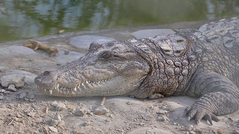 Mugger crocodile in Iran