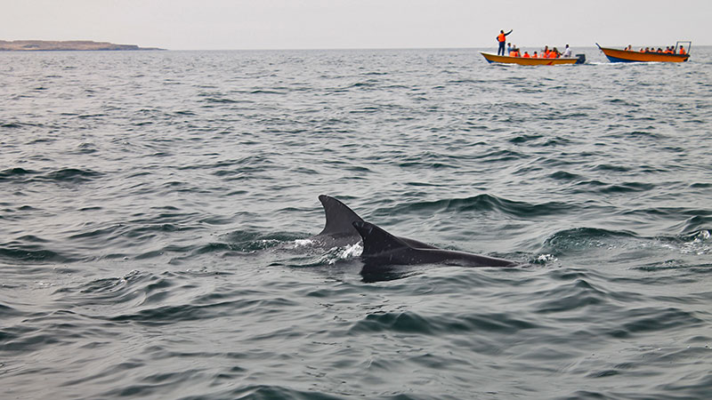 dolphins of  the persian gulf