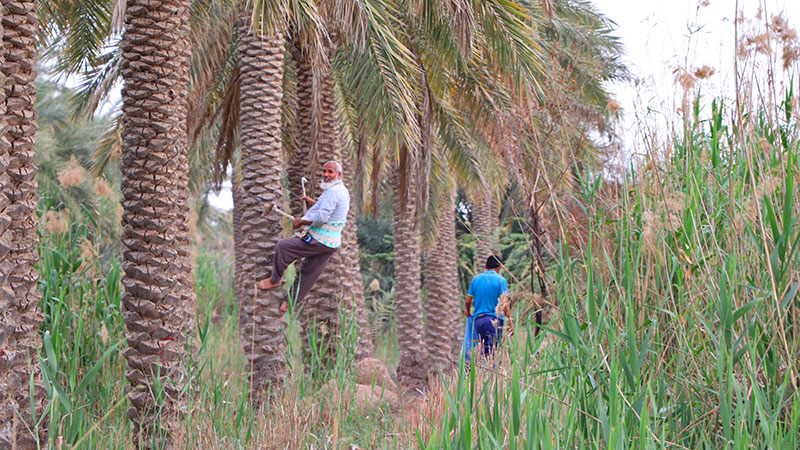 Iran palm groves