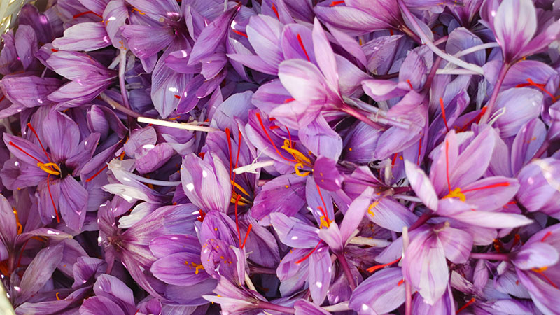 Saffron flowers from Iran saffron fields