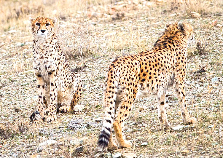 Asiatic Cheetah, Khar Turan National Park