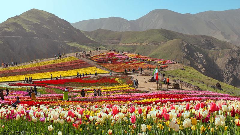 tulip garden in highlands of Alborz Mountains