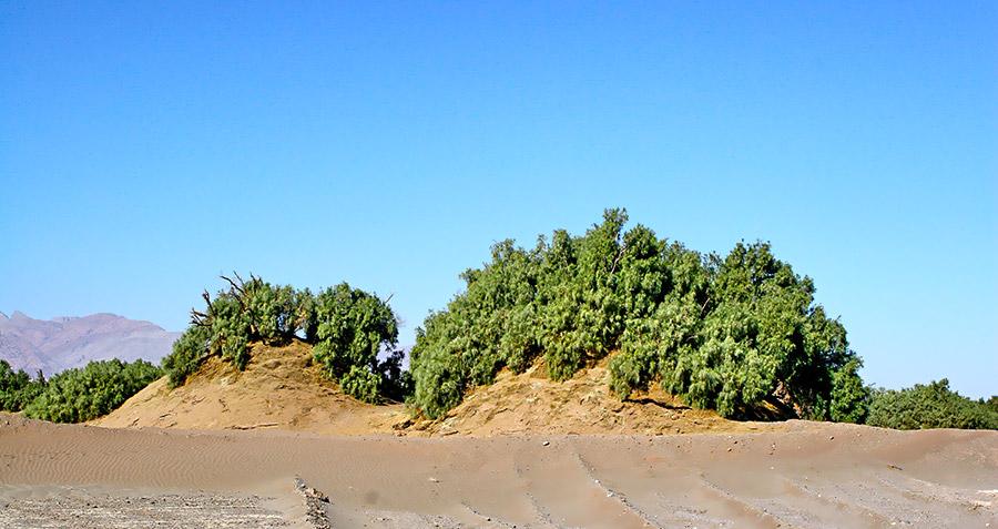 Nabkhas of Lut desert are among the tallest bush mounds in the world