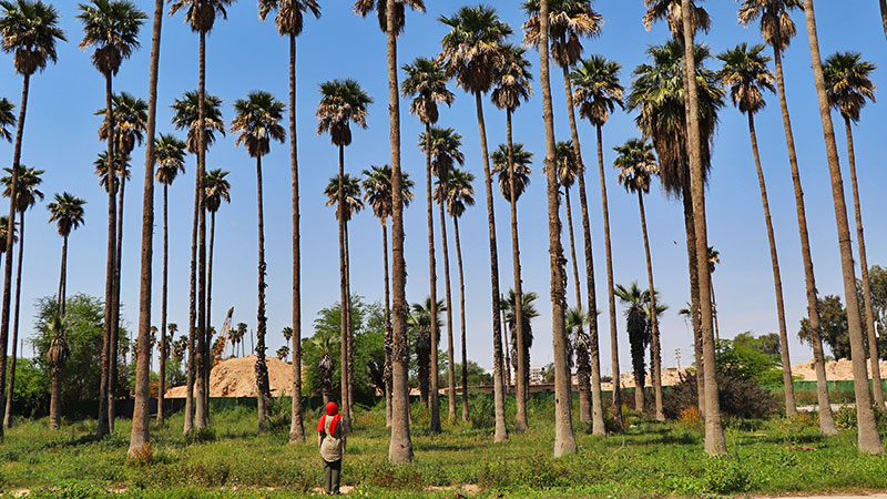 Iran date palms