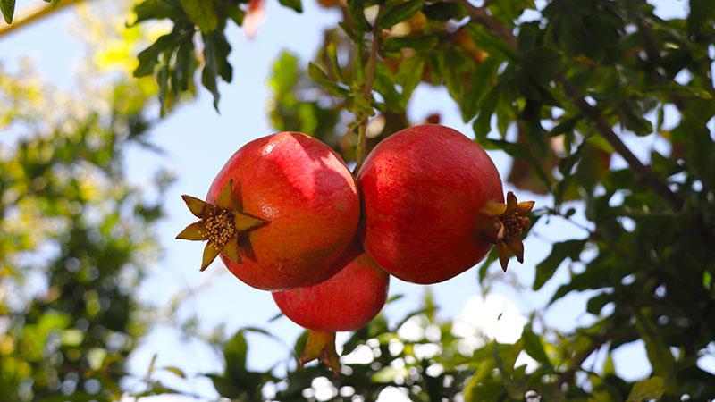 Pomegranate orchard in Taft, Iran