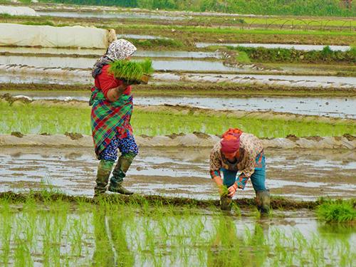 Iran Rice Harvesting
