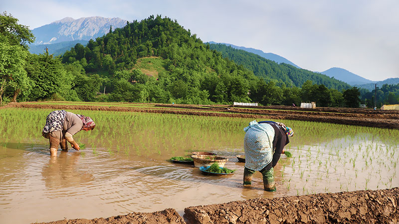 rice cultivation in Iran