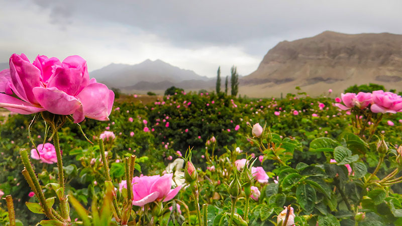 Rose flower fields of Kashan Iran