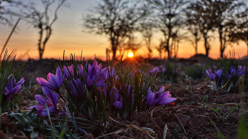 iran saffron field of Torbat Heydarieh