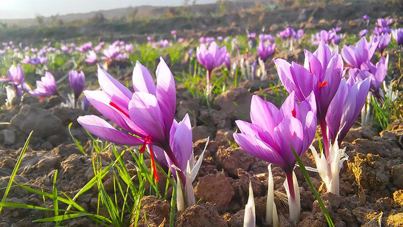 Saffron harvesting in Kashan