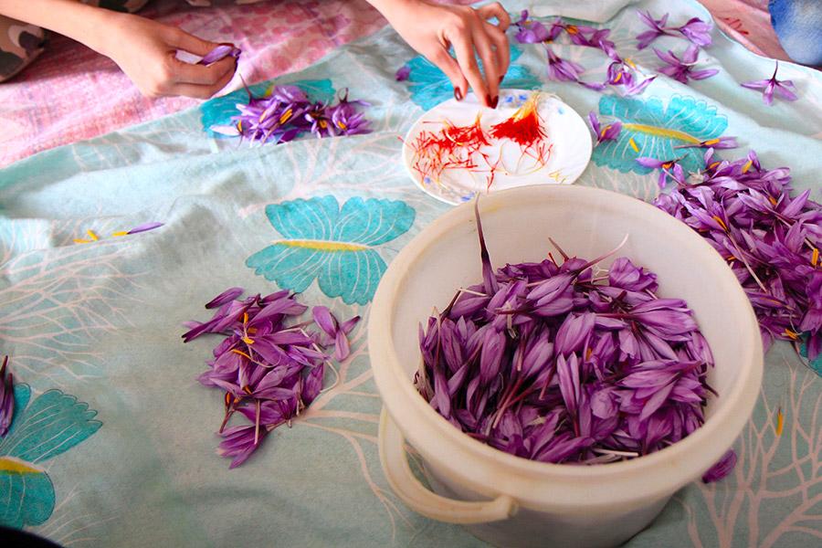 Saffron corcus of Qaen, Iran
