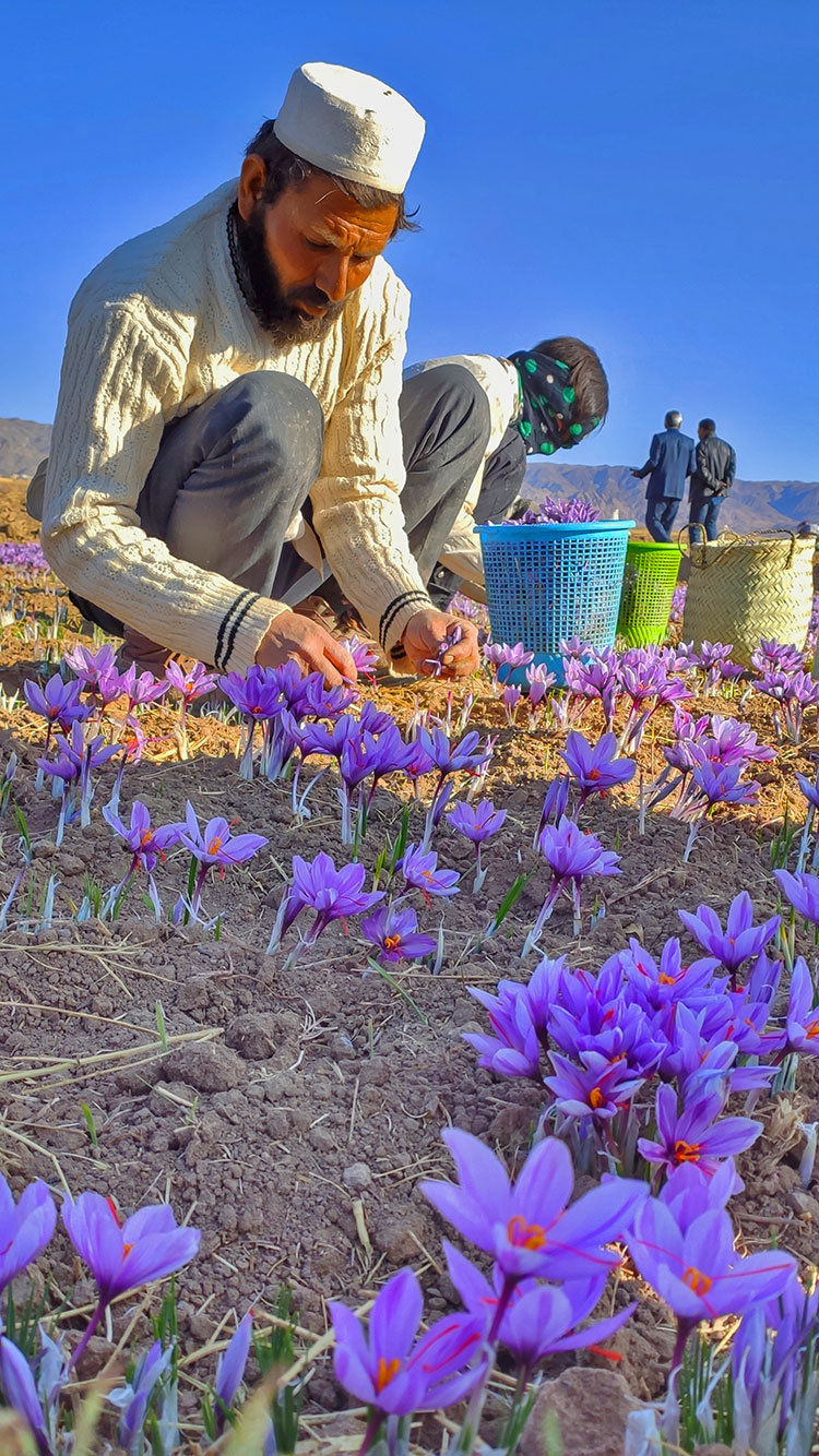 the Persian saffron is worth its weight in gold