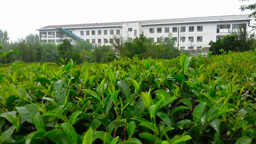 Iranian Tea garden and factory