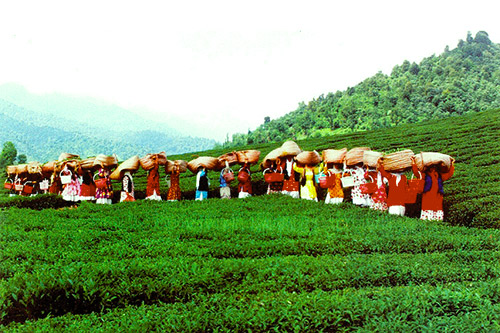 Tea Cultivation and Harvest in Iran