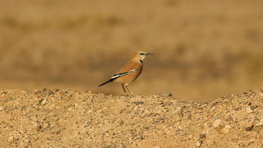Iranian Ground Jay in Varzaneh